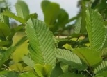 Co je to Kratom (Mitragyna Speciosa) ?
